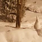 Njuámmil Arctic hare